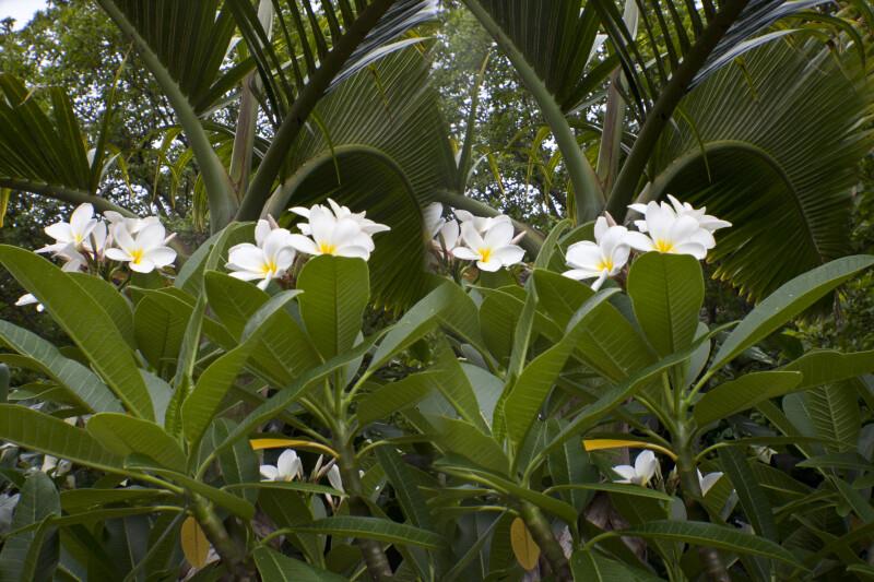Plumeria cvs. Frangipani