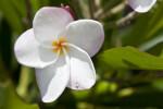 Plumeria Flower Close-Up