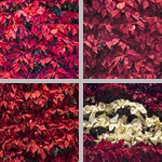 Poinsettias photographs