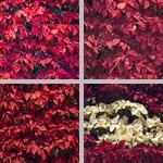 Poinsettias photographs