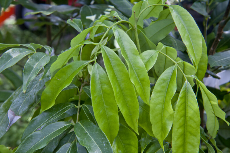 Pointed Chicken Tongue Lychee Leaves