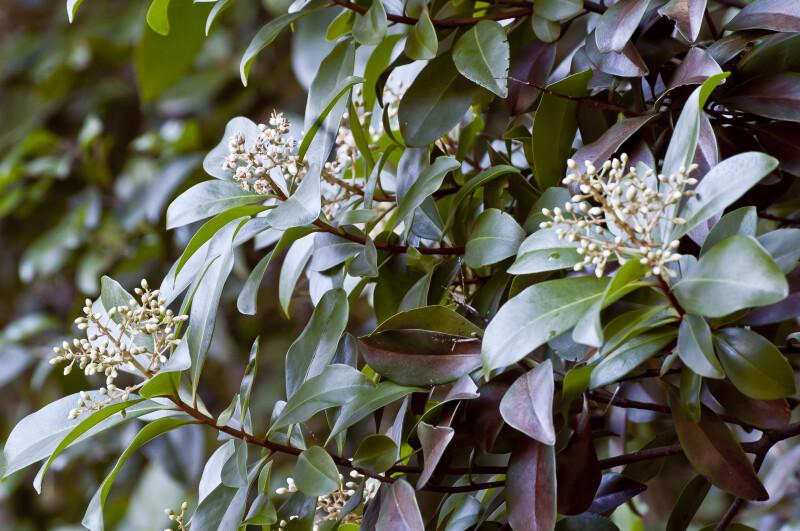 Shrub at Dagny Johnson Key Largo Hammock Botanical State Park