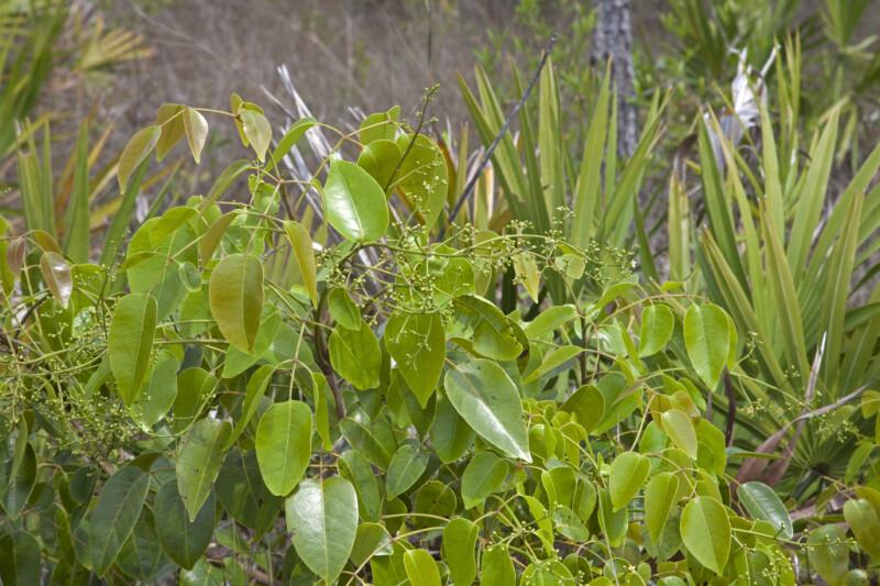 Poisonwood Shrub at Long Pine Key of Everglades National Park