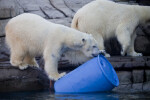 Polar Bear and Barrel