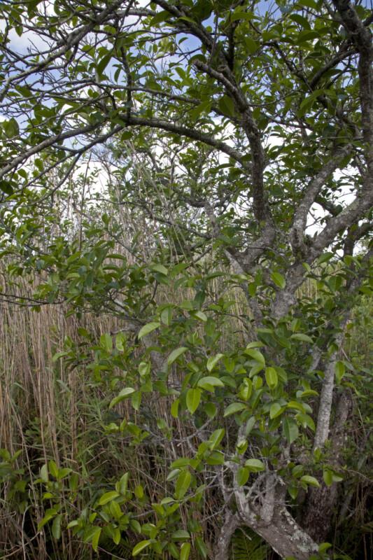 Pond Apple Trees