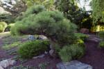 Ponderosa Pine at Japanese Garden