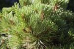 Ponderosa Pine Close-Up