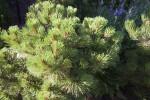 Ponderosa Pine Detail