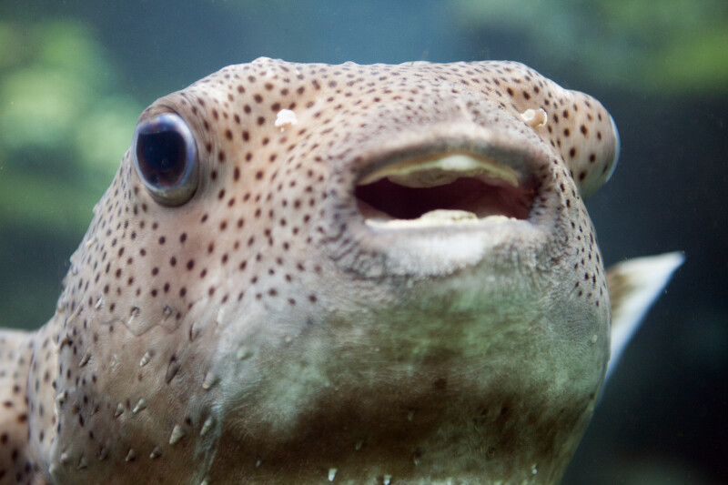 Porcupine Fish Close-Up