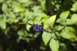 Porterweed Flowers