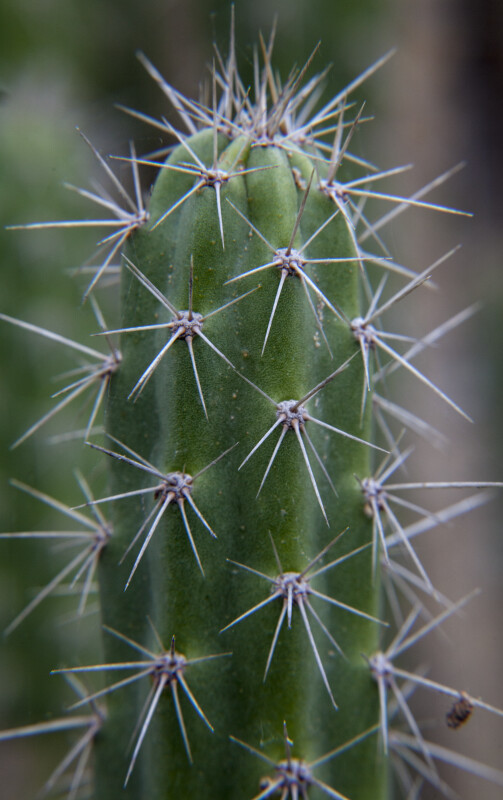 Portion of a Cactus with Numerous Spine Clusters