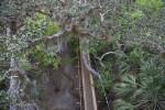 Portion of Skywalk Passing Through Trees at Myakka River State Park