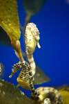 Potbelly Seahorses on Kelp