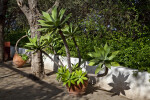 Potted Agave Plant at the Rancho Los Alamitos Historic Ranch and Gardens