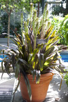 Potted Pineapple Lily