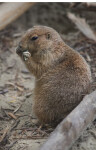 Prairie Dog Chewing on a Stick at the Artis Royal Zoo