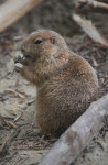 Prairie Dog Eating a Stick at the Artis Royal Zoo