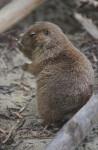 Prairie Dog Examining a Stick at the Artis Royal Zoo