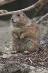 Prairie Dog Standing on Sand Hill near Dead Branches