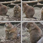 Prairie Dogs photographs