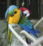 Preening Macaw