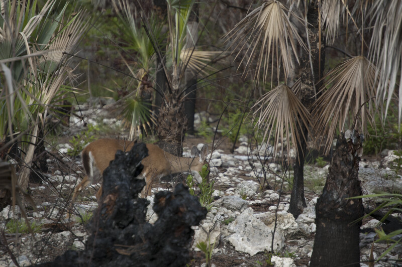 Prescribed Burn Big Pine Key