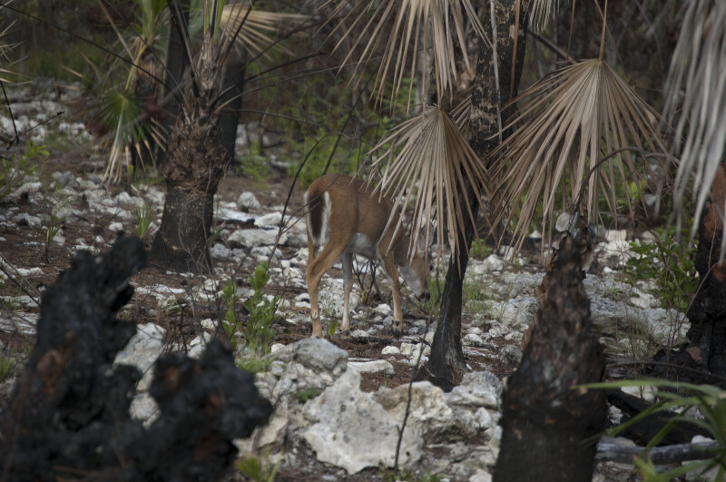 Prescribed Burn of Deer Habitat