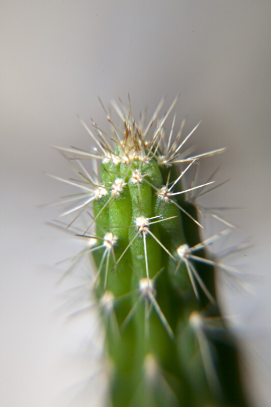 Prickly Apple Spines Close-Up