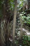 Prickly Palm Trunk