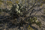Prickly Pear Cacti Amongst Bare Shrubs