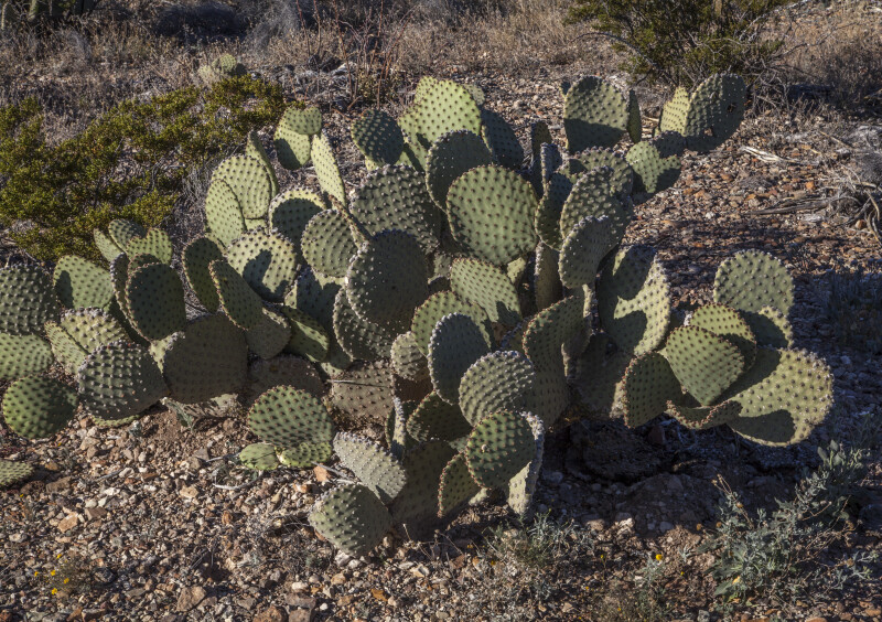 Prickly Pear Cactus Along the Chihuanhuan Desert Trail of Big Bend National Park