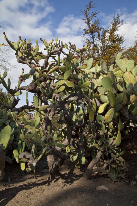 Prickly Pear Cactus at the Rancho Los Alamitos Historic Ranch and Gardens