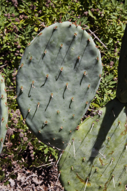 Prickly Pear Cactus' Paddle-Like Leaf