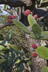 Prickly Pear Cactus Pads and Fruit