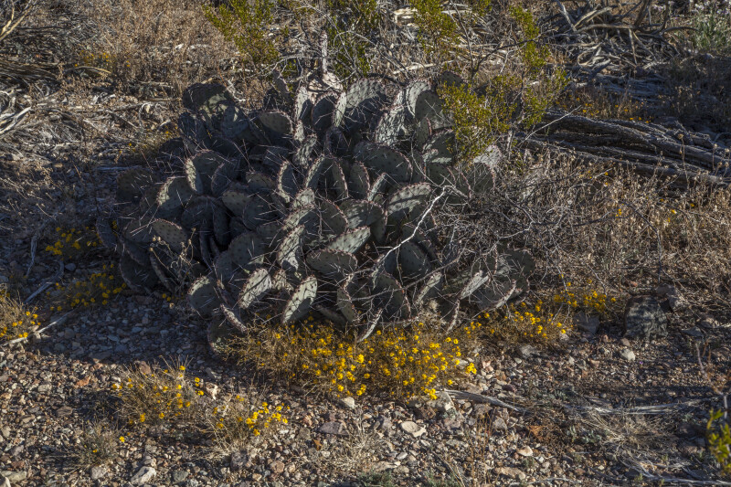 Prickly Pear Cactus Surrounded by Bare Branches