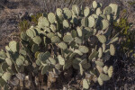 Prickly Pear Cactus with Many Paddles Along the Chihuanhuan Desert Trail of Big Bend National Park