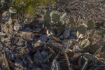 Prickly Pear Cactus with Many Spines