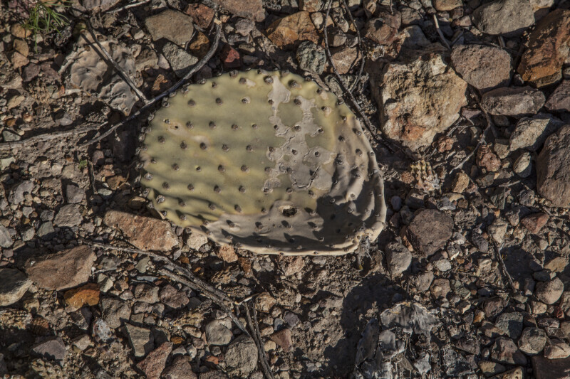 Prickly Pear Paddle on the Ground