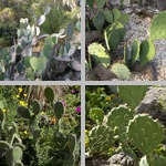 Prickly Pears photographs