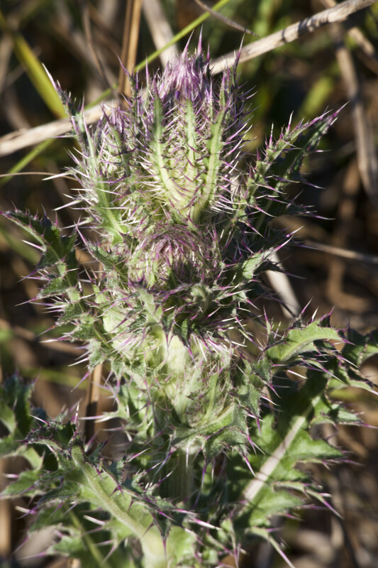 Prickly Thistle at the  Big Cypress National Preserve