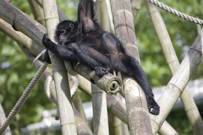 Primate Laying On Posts