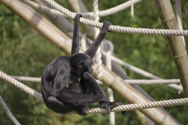 Primate On Rope