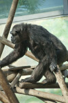 Primate Slightly Hunched