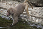 Primate With Arms in Water