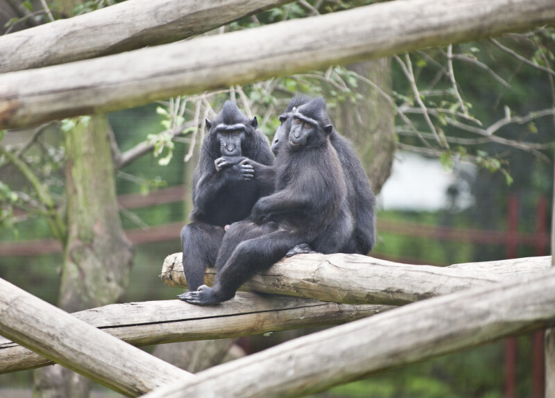 Primates Sitting on Wooden Log at the Artis Royal Zoo