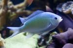 Princess Cichlid Swimming in its Tank