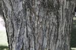 Princeton American Elm Bark