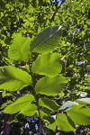 Princeton American Elm Branch