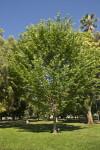 Princeton American Elm Tree at Capitol Park in Sacramento