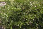 Prostrate Japanese Plum Yew at the Arnold Arboretum of Harvard University